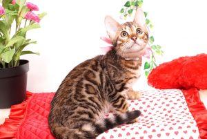 ベンガルの子猫 2019/8/3生 760番ピンク メス4