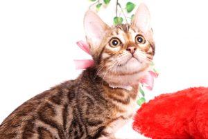 ベンガルの子猫 2019/8/3生 760番ピンク メス5