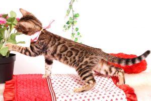 ベンガルの子猫 2019/8/3生 760番ピンク メス6