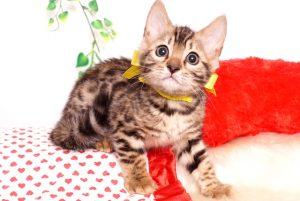 ベンガルの子猫 2019/8/17生 774番イエロー メス1