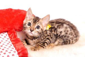 ベンガルの子猫 2019/8/17生 774番イエロー メス2