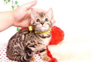 ベンガルの子猫 2019/8/17生 774番イエロー メス3