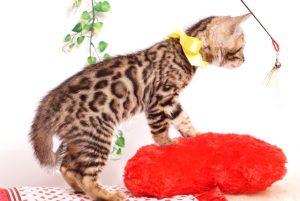 ベンガルの子猫 2019/8/17生 774番イエロー メス4