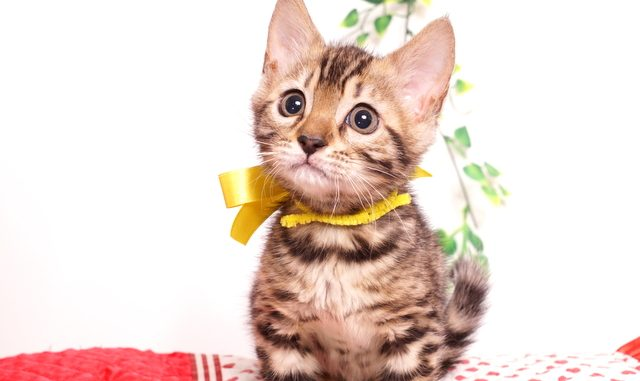 ベンガルの子猫 2019/8/17生 774番イエロー メス6