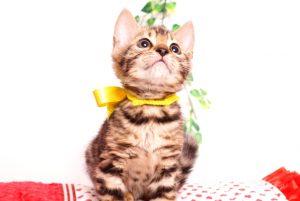 ベンガルの子猫 2019/8/17生 774番イエロー メス7