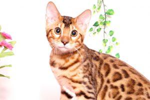 ベンガルの子猫 2019/6/21生 742番ブラック オス32