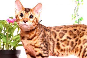ベンガルの子猫 2019/6/21生 742番ブラック オス33