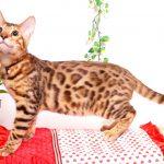 ベンガルの子猫 2019/6/21生 742番ブラック オス34