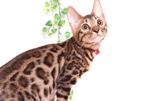ベンガルの子猫 2019/7/20生 758番レッド オス25