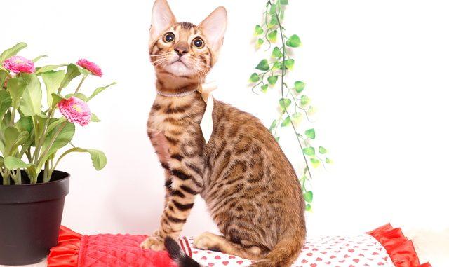 ベンガルの子猫 2019/7/20生 756番ホワイト オス21
