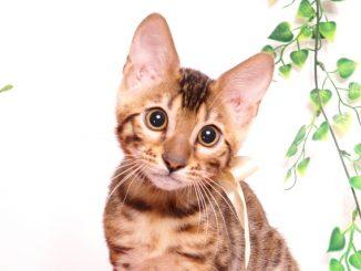 ベンガルの子猫 2019/7/20生 756番ホワイト オス24