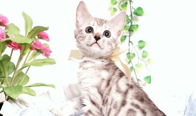 ベンガルの子猫 2019/9/10生 783番ホワイト メス1