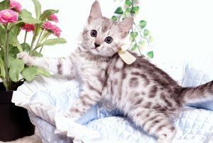 ベンガルの子猫 2019/9/10生 783番ホワイト メス4