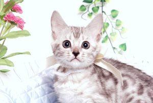 ベンガルの子猫 2019/9/10生 783番ホワイト メス5