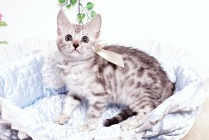 ベンガルの子猫 2019/9/10生 783番ホワイト メス8