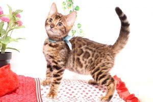 ベンガルの子猫 2019/8/30生 782番アクア オス1