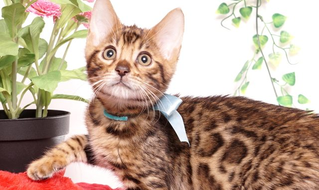 ベンガルの子猫 2019/8/30生 782番アクア オス2