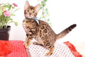 ベンガルの子猫 2019/8/30生 782番アクア オス3