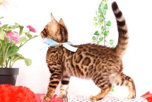 ベンガルの子猫 2019/8/30生 782番アクア オス5
