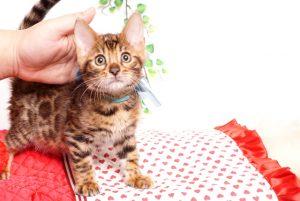 ベンガルの子猫 2019/8/30生 782番アクア オス6