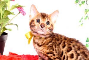 ベンガルの子猫 2019/8/30生 781番イエロー オス1