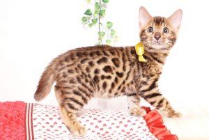 ベンガルの子猫 2019/8/30生 781番イエロー オス2