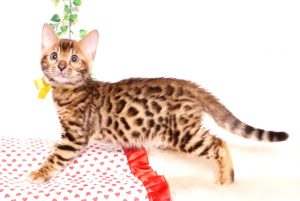 ベンガルの子猫 2019/8/30生 781番イエロー オス3