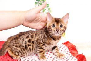 ベンガルの子猫 2019/8/30生 781番イエロー オス4