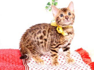 ベンガルの子猫 2019/8/30生 781番イエロー オス5