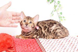 ベンガルの子猫 2019/8/30生 779番ピンク メス2
