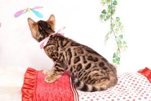 ベンガルの子猫 2019/8/30生 779番ピンク メス4