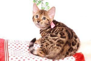 ベンガルの子猫 2019/8/30生 779番ピンク メス5
