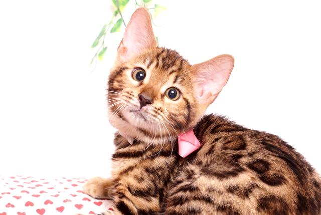 ベンガルの子猫 2019/8/30生 779番ピンク メス6