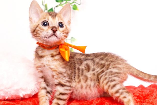 ベンガルの子猫 2019/9/29生 792番オレンジ オス1