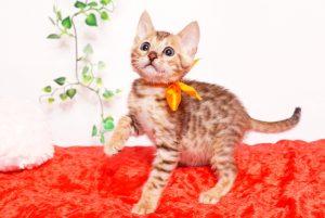 ベンガルの子猫 2019/9/29生 792番オレンジ オス2