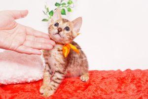 ベンガルの子猫 2019/9/29生 792番オレンジ オス3