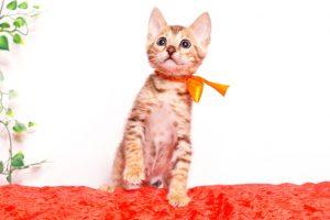 ベンガルの子猫 2019/9/29生 792番オレンジ オス4