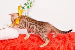 ベンガルの子猫 2019/9/29生 792番オレンジ オス5
