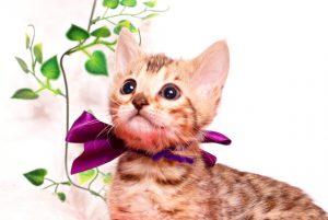 ベンガルの子猫 2019/9/29生 791番パープル メス1