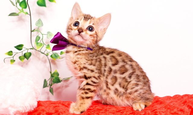 ベンガルの子猫 2019/9/29生 791番パープル メス2