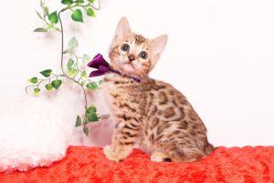ベンガルの子猫 2019/9/29生 791番パープル メス3