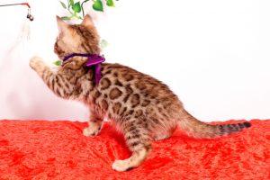 ベンガルの子猫 2019/9/29生 791番パープル メス6