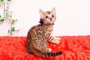 ベンガルの子猫 2019/9/29生 791番パープル メス7