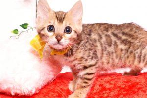 ベンガルの子猫 2019/9/29生 790番イエロー メス1