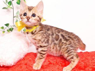 ベンガルの子猫 2019/9/29生 790番イエロー メス2