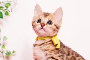 ベンガルの子猫 2019/9/29生 790番イエロー メス3