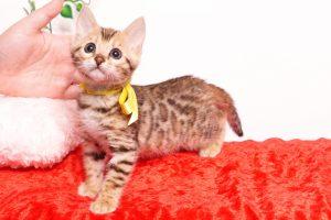 ベンガルの子猫 2019/9/29生 790番イエロー メス4
