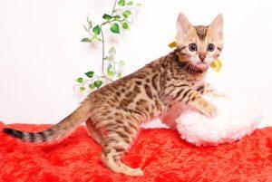 ベンガルの子猫 2019/9/29生 790番イエロー メス5