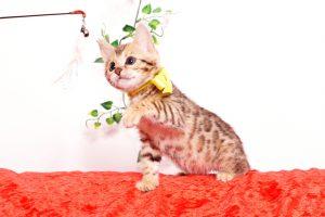 ベンガルの子猫 2019/9/29生 790番イエロー メス7
