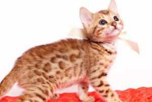 ベンガルの子猫 2019/9/29生 789番ホワイト メス1